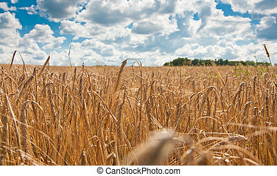 Ripe wheat. Blue sky and white clouds