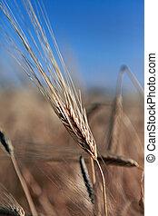 ripe wheat, close-up