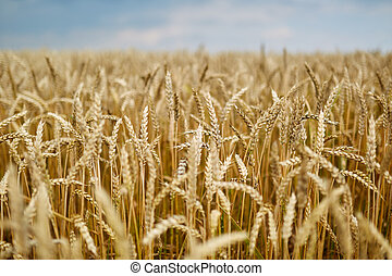 Ripe wheat closeup