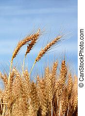 Ripe Wheat Detail Against Blue sky