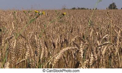 ripe wheat ear plants