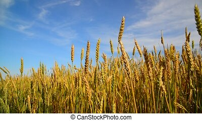 Ripe wheat ears in field at sunset