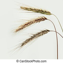 ripe wheat ears on white sky background