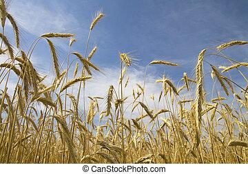 Ripe wheat ears over a blue sky