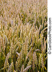 ripe wheat field closeup agricultural background