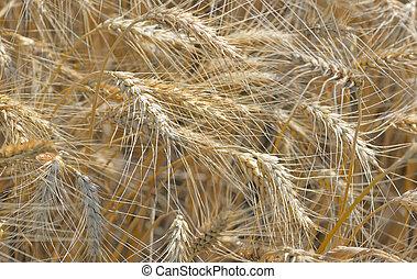 Ripe wheat field - Details of ripe wheat field