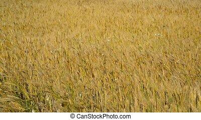 ripe wheat field in August. Russia - A ripe wheat field in...
