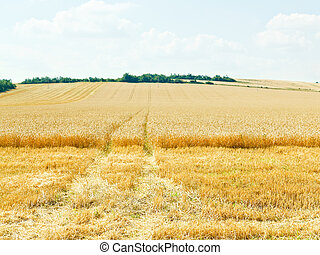 ripe wheat field in caucasus region in summer day