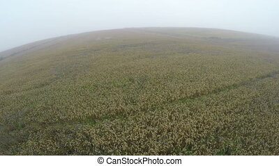 Ripe wheat field in early misty morning, aerial view from...