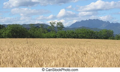 Ripe wheat field in sunny day, clouds and mountain landscape