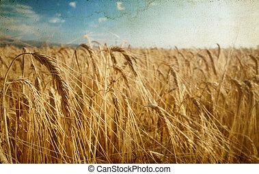 Ripe wheat field in the summer