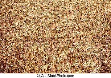 Ripe Wheat Field Palouse Washington State
