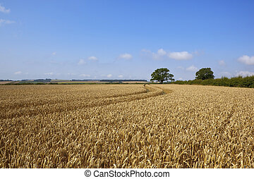 ripe wheat field - a golden wheat field with background...