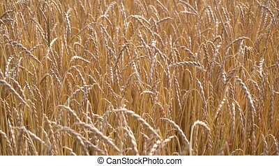 ripe wheat field view - ripe wheat field close up