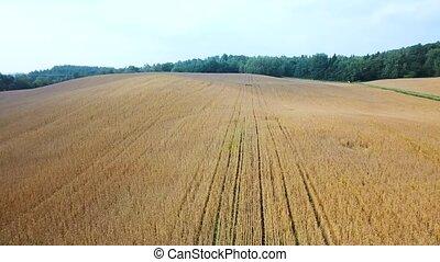 ripe wheat field view - ripe wheat field aerial view