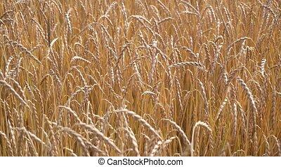 ripe wheat field view - ripe wheat field close up