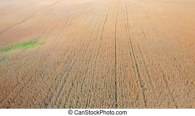 ripe wheat field view - ripe wheat field aerial view