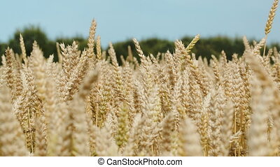Ripe wheat on a bright day