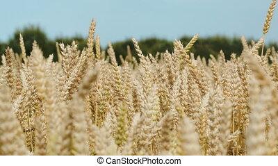 Ripe wheat on a bright day