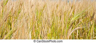 Ripe wheat panorama, close
