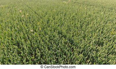 Ripe wheat plant crop ears move in wind. Right side sliding shot. 4k. Progressive scan 25fps. Dolly camera movement.