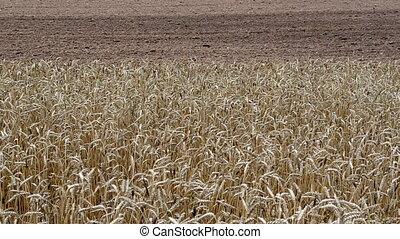 ripe wheat plowed field - closeup of ripe wheat ears move in...