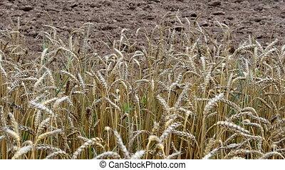 ripe wheat plowed field - ripe wheat ears move in wind and...
