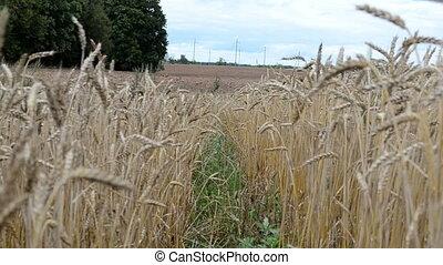 ripe wheat plowed field - ripe wheat ears move in wind near...