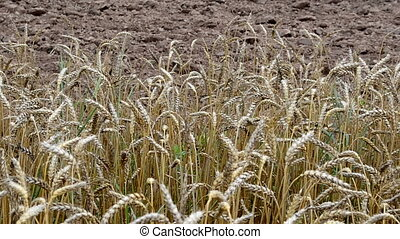 ripe wheat plowed field - ripe wheat ears move in wind and...
