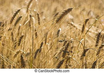 Ripe wheat - Ready to harvest wheat