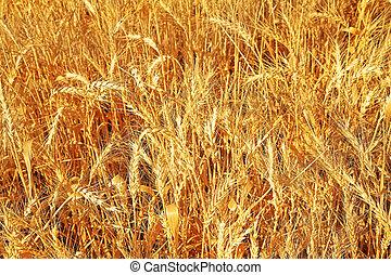 Ripe wheat - Yellow field of ripe wheat in serene day