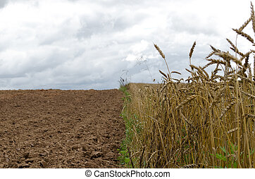 ripe wheats harvest plowed agricultural field soil