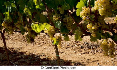 Ripe white grapes hanging on green vine ready to be harvested in sunny vineyard