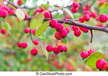 Ripe wild apples on a branch
