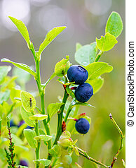 ripe wild blueberries in the forest on a blurred background