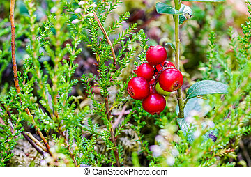 ripe wild lingonberries in the forest on a blurred background