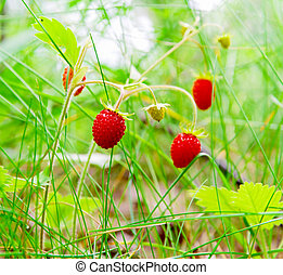 wild strawberries in the forest close-up