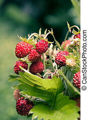 Ripe wild strawberry close-up
