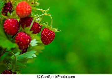 Ripe wild strawberry close-up