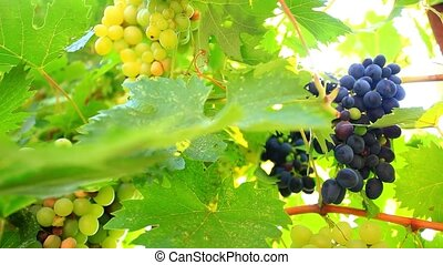 Ripe wine grapes and sun in the morning. HD. 1920x1080 -...