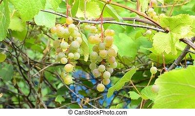Ripe wine grapes in summer or autumn - Ripe wine grapes...