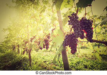 Ripe wine grapes on vines in Tuscany vineyard, Italy. Sun...