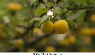 Ripe yellow berry on a branch - Ripe yellow berry on a tree