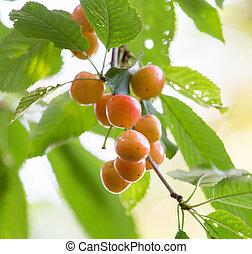 ripe yellow cherries