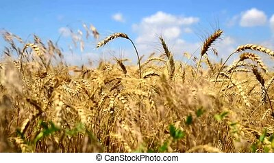 ripe yellow ears of wheat against the blue sky