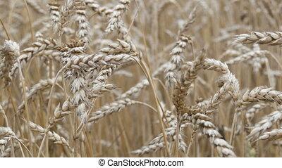 Ripe yellow spikelets of wheat develop in wind in the field