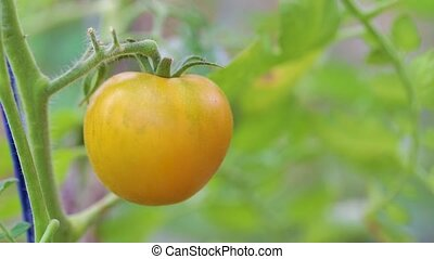 yellow tomatoes on a branch - ripe yellow tomatoes on a...