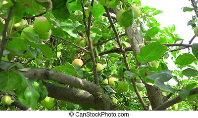 Ripen apples hanging on the tree in sunny day - Video of ...