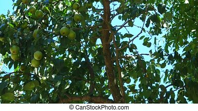 Ripen Bosc Pears on the Tree.