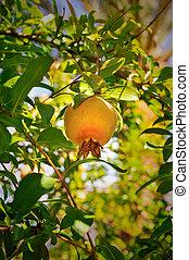 ripen pomegranate on a tree